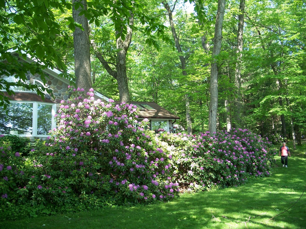 Resplendent Rhododendrons - Safe Haven - Landscape Never Sprayed - Rare Glow Worms: Do Not Spray!